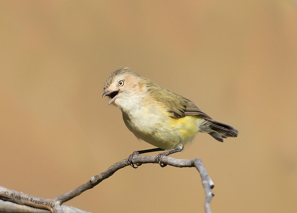 2.The Weebill (Smicrornis Brevirostris)