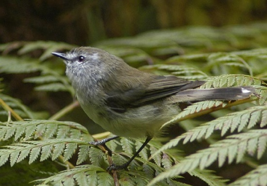 The Brown Gerygone
