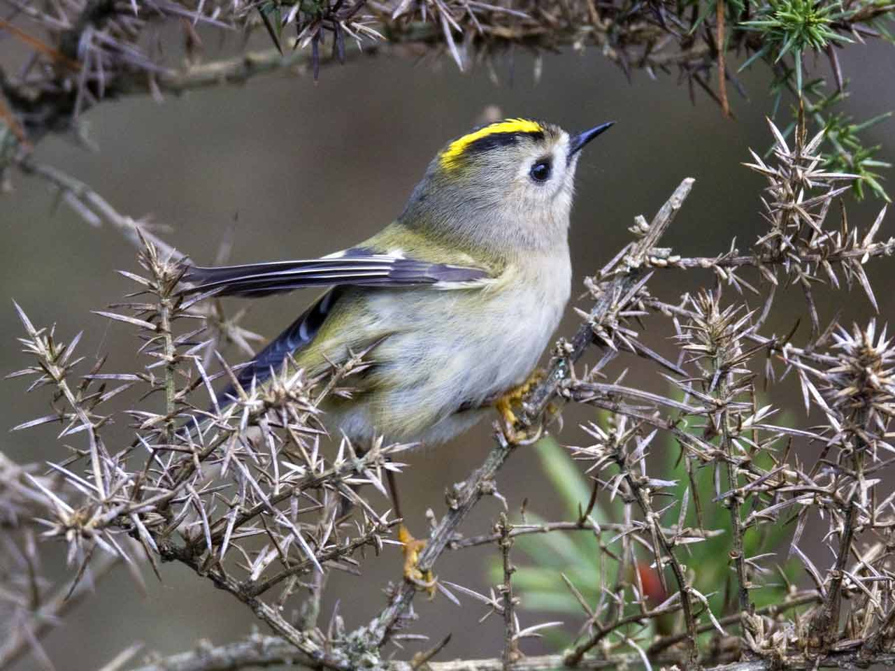 The Goldcrest