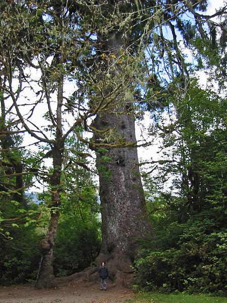 Queets River Spruce – Washington, U.S.