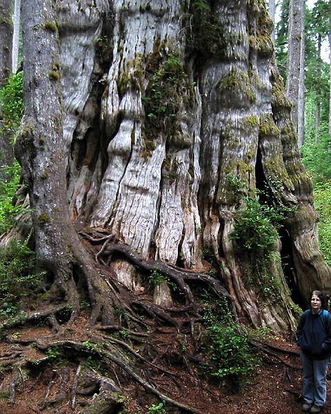 Quinault Lake Redcedar – Washington, United States