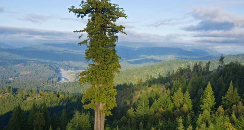 Top 10 Largest Trees of the World
